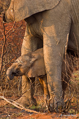 Elephant calf (hannes.steyn) Tags: africa baby nature animals fauna canon southafrica wildlife ivory elephants calf mammals reserves madikwe m