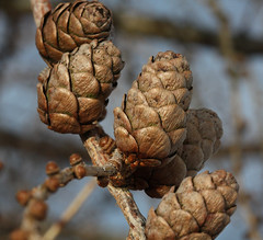 "Cones of a  larch tree on the ""Hill of Alyth"", Perthshire. (Shandchem) Tags: snow tree perthshire larch conifer perthkinross hillofalyth"