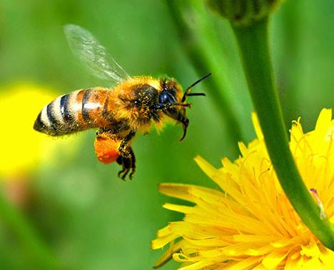 Población mundial de abejas sigue disminuyendo 5450639069_32c94fc731