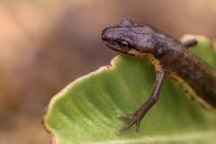 Visitor (FotoCorn) Tags: macro reptiel reptile salamander garden fauna natuur nature