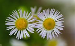 Nous deux (YᗩSᗰIᘉᗴ HᗴᘉS +6 500 000 thx❀) Tags: two nousdeux flower poetry fleur art flou macro hensyasmine canon 7dwf