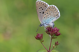 female large blue laying eggs daneway banks Glouscestershire 1st July 2017