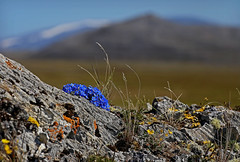 CAKR Lichen and forget-me-nots (AlaskaNPS) Tags: backcountry capekrusensternnationalmonument cakr wilderness vast tundra hills blueflowers mountains alaska nationalpark alaskanationalparkservice