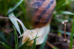 Ti tengo d'occhio (LaSagra) Tags: lumaca snail escargot eyes you watching