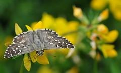 in abito scuro... (andrea.zanaboni) Tags: farfalla butterfly fiore flower colori colors abito moda nikon macro