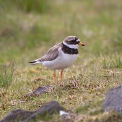 "Ringed Plover (""Clare"") Tags: ringedplover bird nature wildlife charadriushiaticula"