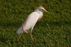 Cattle egret in breeding plumage (_quintin_) Tags: cattle egret bird animal kauai