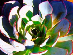 Echeveria Elegans (Martha J Spelman) Tags: echeveria elegans likeapainting postprocessing photomanipulation vibrantcolor succulent succulents red garden magicgarden succulove plant plants plantphotography