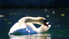 The Swan (YᗩSᗰIᘉᗴ HᗴᘉS +6 500 000 thx❀) Tags: bird cygne swan annevoie jardinsdannevoie belgium belgique wallonie europa hensyasmine nature white light water lac