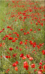 Poppies 2017 (stmoritz1960) Tags: stmoritz1960 stmoritzphotography stephaniemoore poppies poppyfield red flowers nature