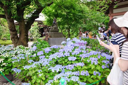 Hydrangea at Kamakura