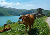 Moo (will_cyclist) Tags: france cycling cows beaufort cormetderoselend ros10 cowsx