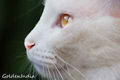 Andy again (goldenindia) Tags: andy cat eyes