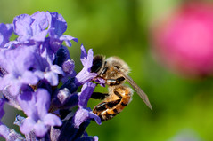 Bee (Sanalejo Photography) Tags: flores flower closeup purple flor bee abeja animalplanet kenkoextension sanalejophotography