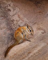 Itchy (Wildphotography - Barry Rowan) Tags: arizona nature animal mammal sandstone desert wildlife chipmunk scratch itch glencanyon coloradochipmunk