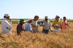 2007 wheat trainees learn scoring (CIMMYT) Tags: man field mxico training mexico wheat course breeding campo agriculture hombre curso scoring participant 2007 trigo trainee obregn agricultura becario researchstation capacitacin capacitybuilding experimentstation participante cimmyt mejoramiento calificando ceneb estacinexperimental estacindeinvestigacin wheatimprovementcourse formacinenmejoramientodetrigo desarrollodecapacidades