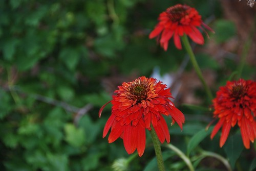 hot papaya echinacea