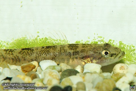 Flathead Gudgeon - Philypnodon grandiceps