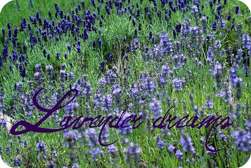 Lavender Drams