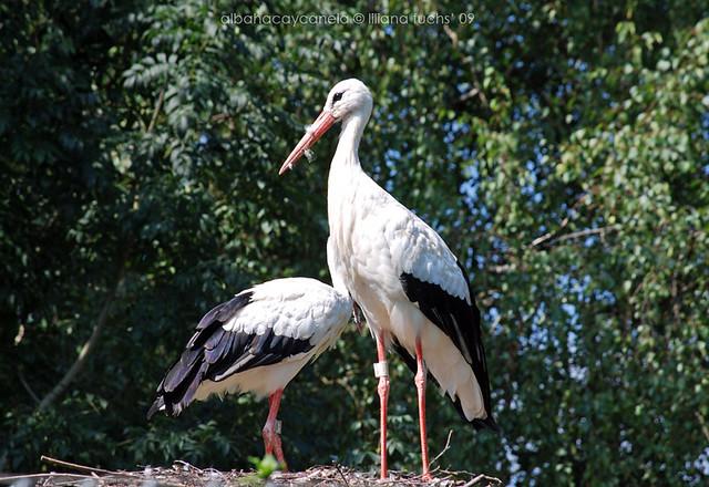 Swiss stork