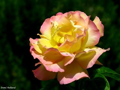 Rose (Domi Rolland ) Tags: france nature fleur rose europe bonheur douceur aveyron midipyrnes top20spring