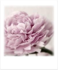 A thousand petals (Iro {Ivy style33}) Tags: pink macro pastel peonies mydaytoday softtones paintinglike photographythroughivyseyes athousandpetals