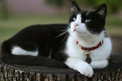 Mitchell (I. Orenos) Tags: wood white black color cute cat backyard greeneyes stump mybaby tuxedocat mitchell chrisshouse