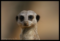 Smile (Grievous247) Tags: nature smiling meerkat funny wildlife sony a700 sal70400g