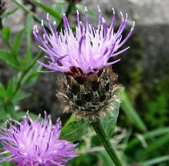 Spear Thistle (sunbeem) Tags: weed purple thistle prickly imposing spearthistle sharppoint platinumpeaceaward mygearandmepremium silveramazingdetails