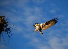 Flying into nest (yogalady) Tags: ri morning fish flying nest warren osprey