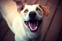 (Grendel Galore) Tags: dog cute smiling happy 50mm nikon blueeyes blonde doggy d80