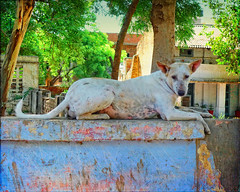 """May be """"cute"""" is not the first word that comes to mind... (Irene2005) Tags: street wild dog india big agra huge stray uttarpradesh f20 2460mm pointshootcamera thelittledoglaughed leicadlux4"""