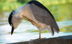 Black-crowned Night Heron (Lorcan Keating) Tags: sanfrancisco california goldengatepark nikon top20nature stowlake blackcrownednightheron d80 afsnikkor18200mm bayareawildlife nycitoraxnycitorax