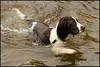 Quarry swim (Simon Bone Photography) Tags: dog pet water swim bigma bitch springer springerspaniel bella quarry k9 liverandwhite sigma50500mm carnmarth wwwthehidawaycouk canoneos7d