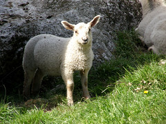 Mary had a little lamb ... (me_suz) Tags: sirdal dorga dorgefossenfarmlamblammbondgård