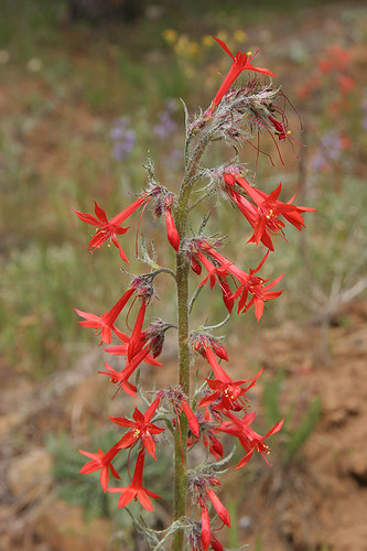 Ipomopsis aggregata - Scarlet Gilia