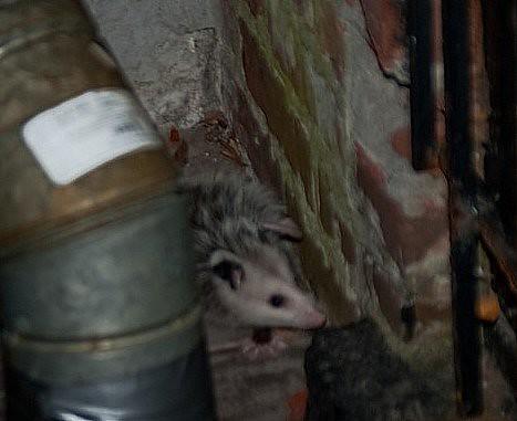 baby opossum 2