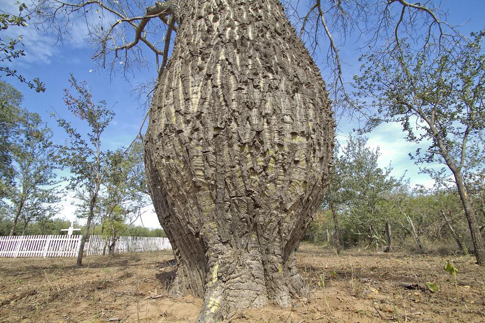 Un gran árbol de samu´u (Palo Borracho) crece al costado del pequeño Cementerio de Soldados Bolivianos y Paraguayos en el Fortín Toledo. (Tetsu Espósito - Fortín Toledo, Chaco, Paraguay)