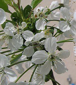 Sauerkirschbluete