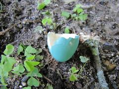Anglų lietuvių žodynas. Žodis egg-shell reiškia n kiaušinio lukštas lietuviškai.