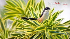 Long-tailed Shrike (Lanius schach) (alabang) Tags: acc cloudy philippines luzon alabang ibon metromanila laniusschach ebon longtailedshrike itlog ayalaalabangvillage langam rufousbackedshrike pakpak alabangcountryclub philippinebirds ef800mmf56lisusm canonef800mmf56lisusm thewonderfulworldofbirds