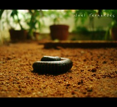 Curled to defend. (8/365) (Joel I Fernandes) Tags: insect curl scared defense millipede protect project365 8354