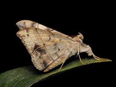 Oxyodes scrobiculata Fabricius, 1775 (P.S.SIVAPRASAD) Tags: moth lepidoptera moths noctuidae mothsofindia oxyodes scrobiculata oxyodesscrobiculata mothsoftamilnadu mothsofcoimbatore