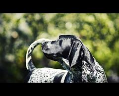 Steel - Bluetick coonhound (Zach Boumeester) Tags: blue dog blur field prime dc nikon dof open control bokeh wide hound coon f2 tick nikkor depth coonhound 135mm bluetick defocus hutning d300s