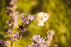 Butterfly on the lavender (Ricky X) Tags: color macro colors closeup butterfly nice tones tone levender