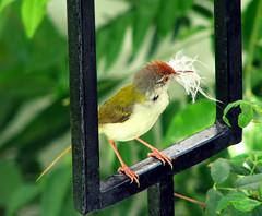 Nest In Progress (Common Tailor Bird) (Vi. Ko. (Vikas K.)) Tags: morning house black building green bird home garden bars raw place nest material build vikas viko koshti vikovikask