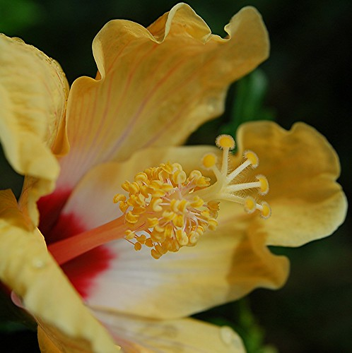 Glamorous ruffly yellow Hibiscus with ruby red center and golden stamens
