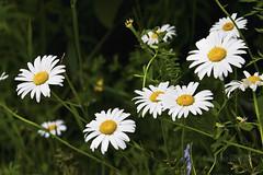 So many love me,love me not (MarieFrance Boisvert) Tags: flowers flower daisies bokeh fields asteraceae rh marguerites flowersplants compositae