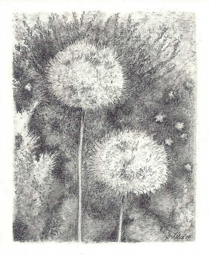 Two Alliums, graphite