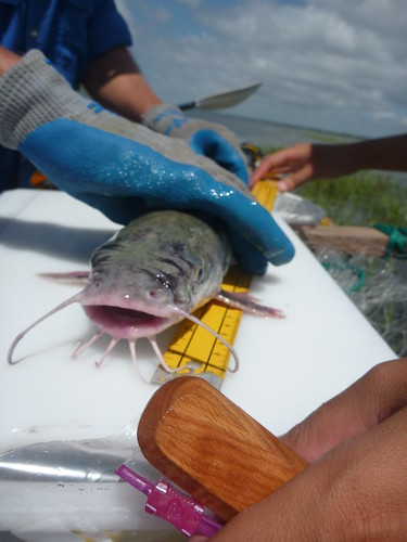 hardheaded catfish